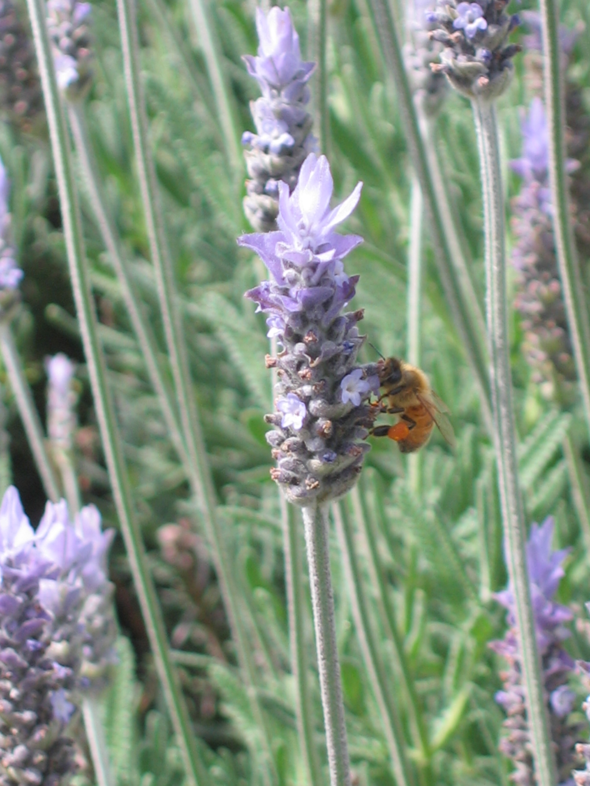 Lavender smell wonderful and are great for attracting pollinators into your garden.