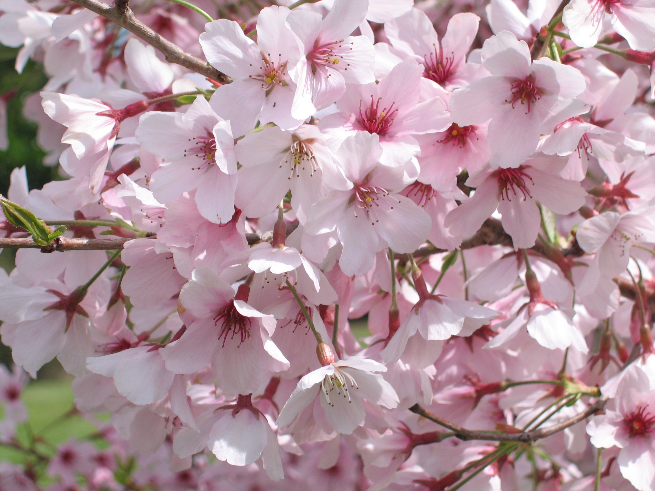 how to grow cherry blossom in sydney