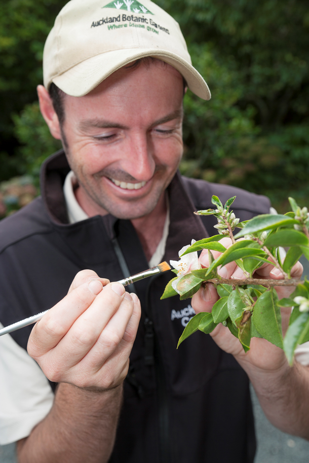 Camellia curator Mark pollinating