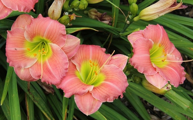 Fig 8. Hemerocallis 'Rose Emily'