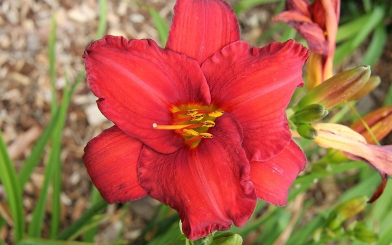Fig 2. Hemerocallis 'Chicago Apache'