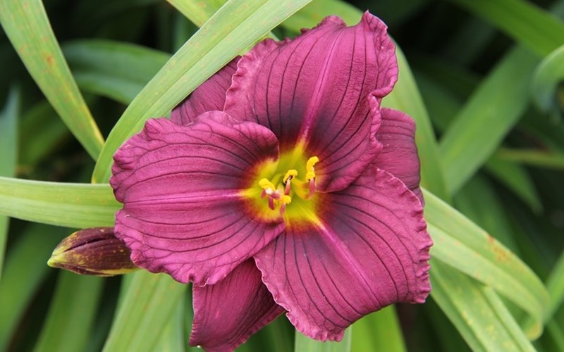 Fig 4. Hemerocallis 'Little Grapette'