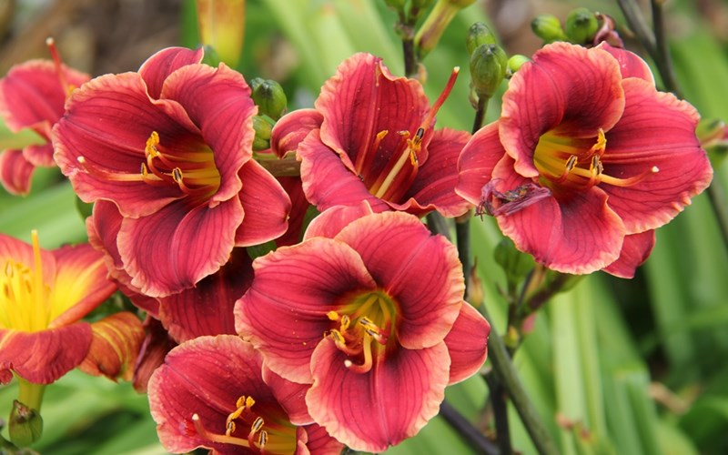 Fig 3. Hemerocallis 'Dancing Dwarf'