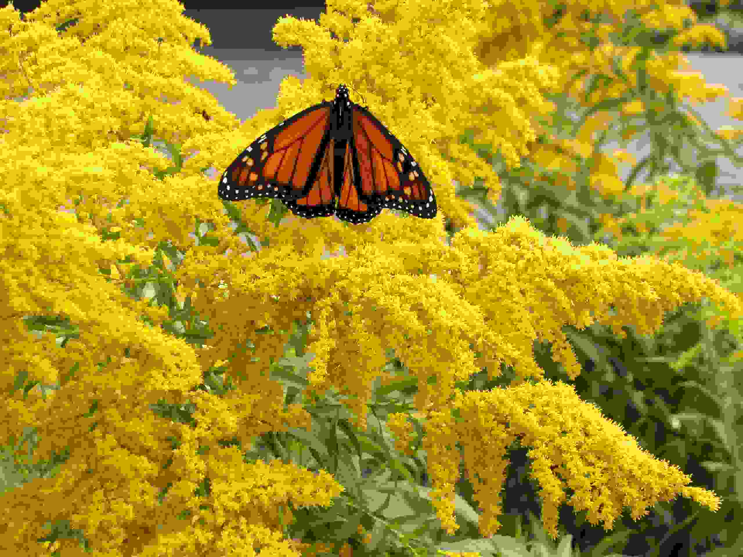 Perennials - Monarch butterfly on Goldenrod at the Auckland Botanic Gardens