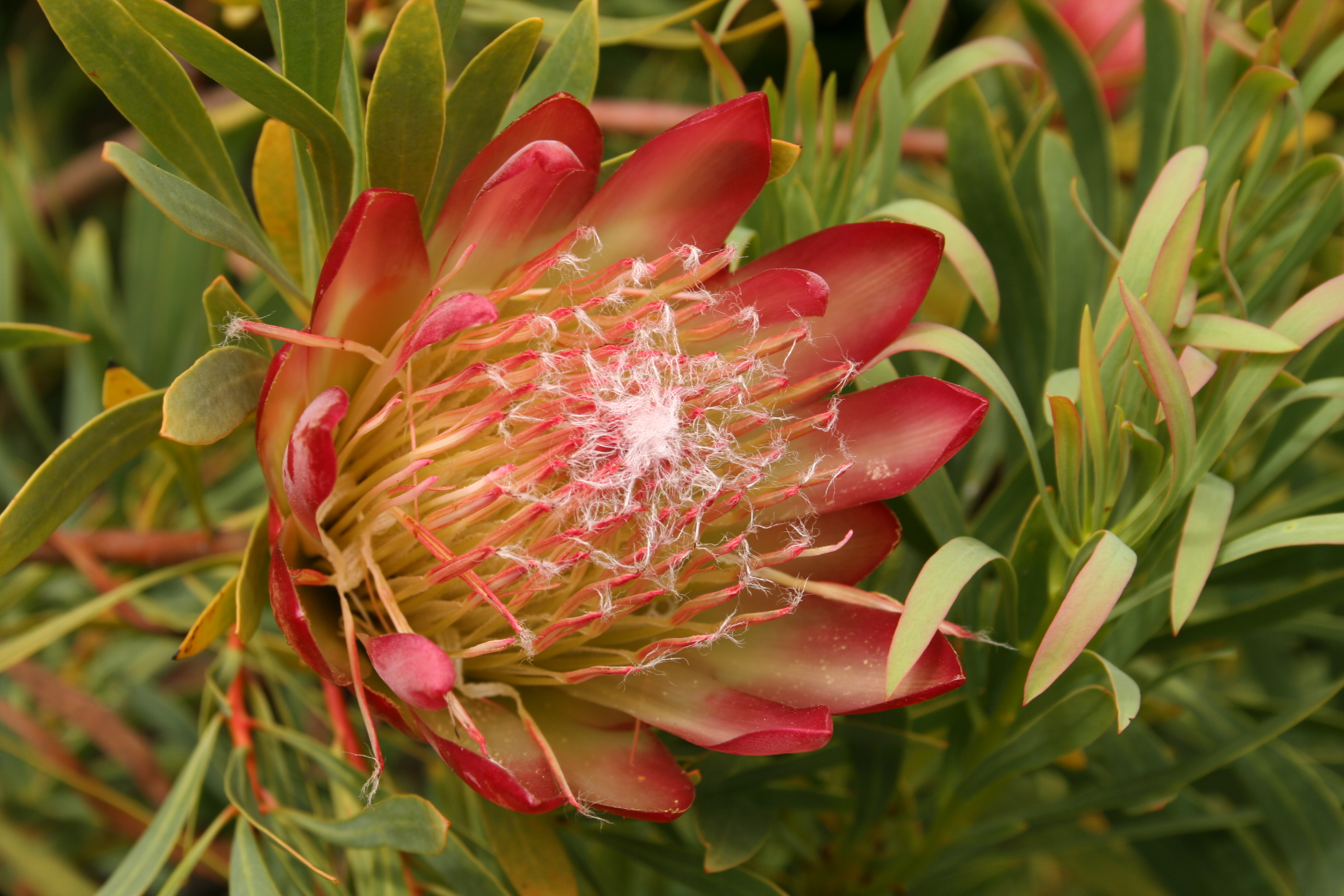 Protea 'Clarks Red'