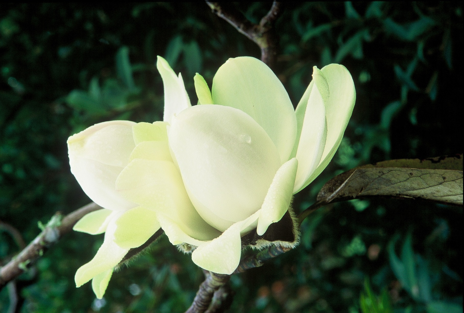 Magnolia Garden Auckland Botanic Gardens