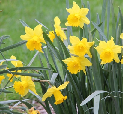 Narcissus 'Park Princess'