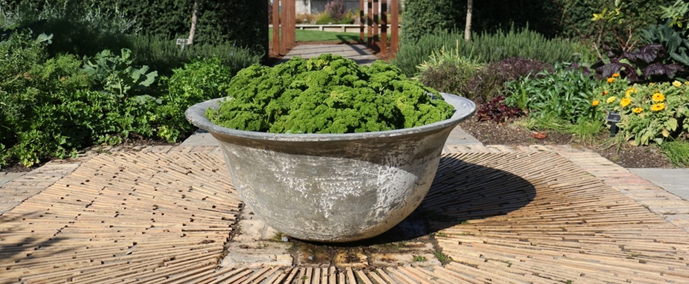 A bowl of parsley in the edible garden