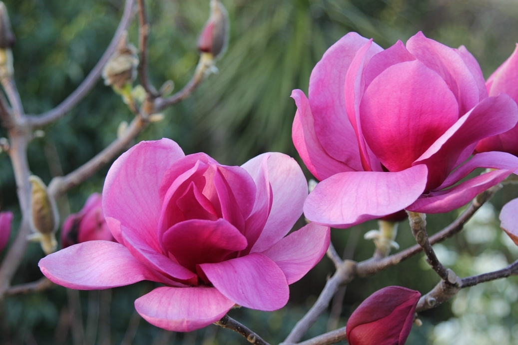 Magnolia 'Arabian Nights'