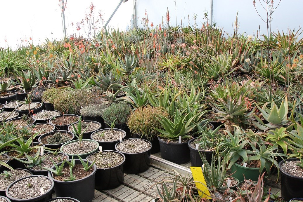The genus Aloe has such diversity in shape and size