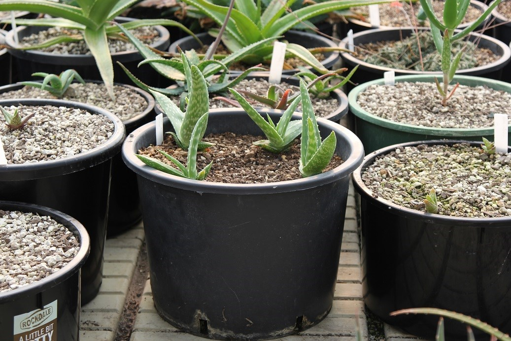 Tiny aloe plants - just a few years old