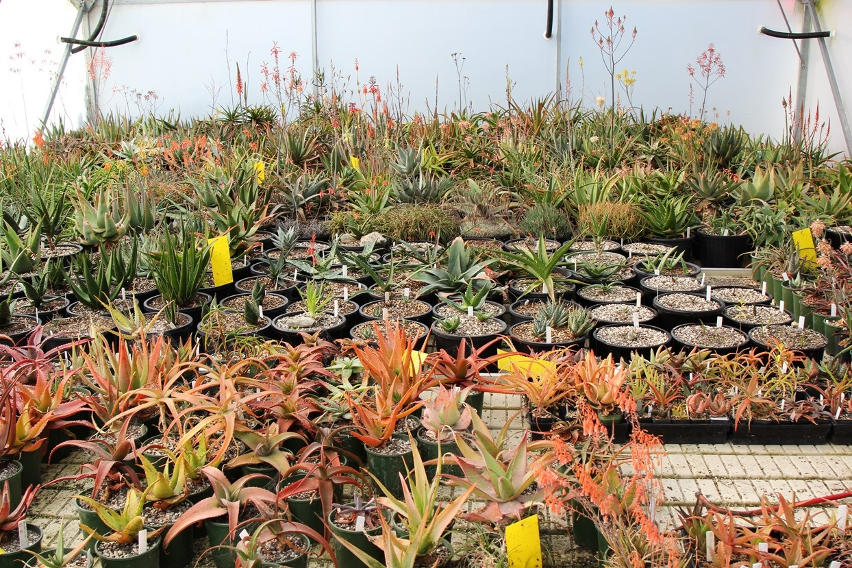 The foliage colour of aloes can range from orange to green, and their sap colour differs too