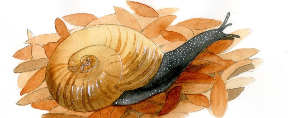 Illustration of a Kauri Snail by Sandra Morris