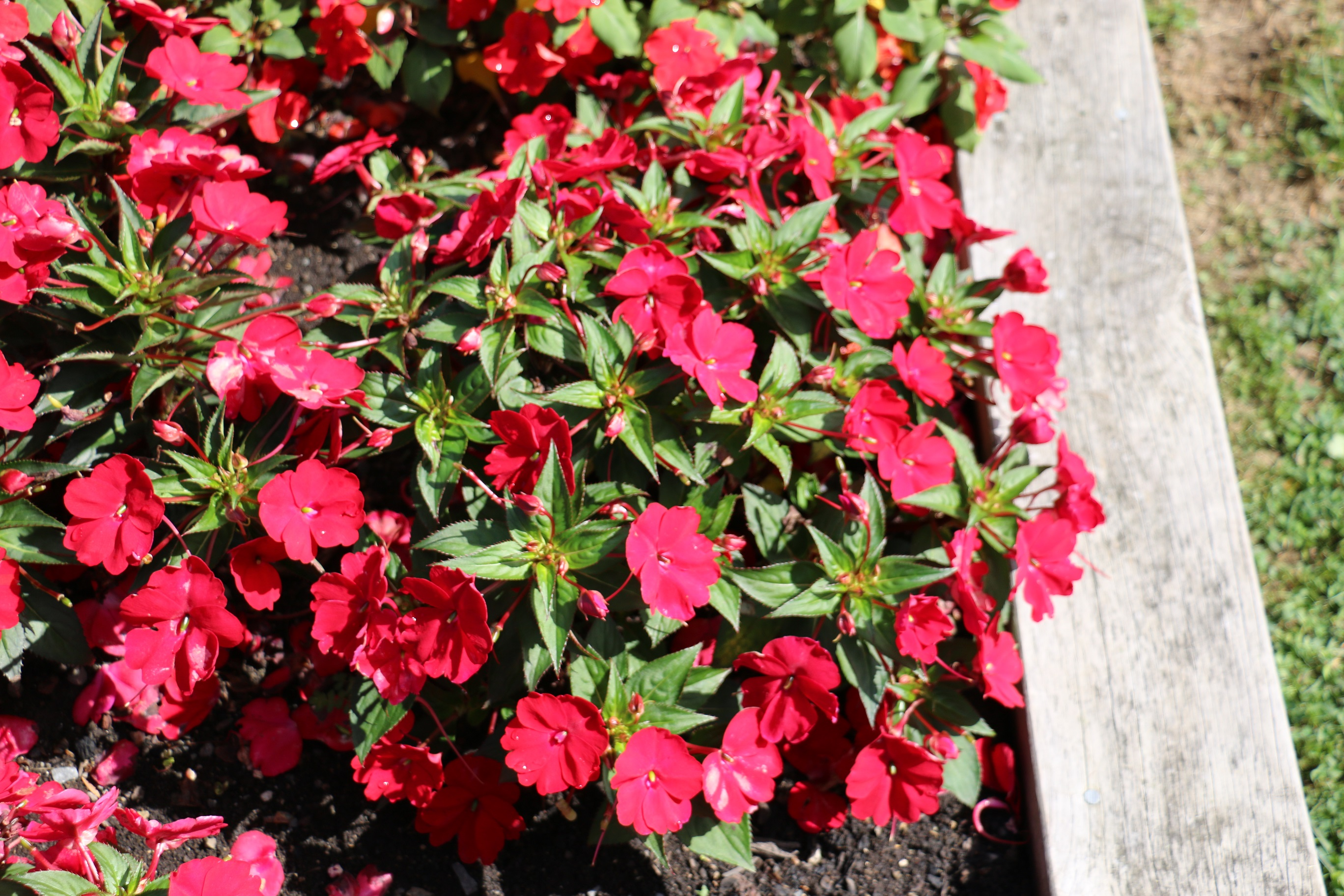 Impatiens 'Compact Red'