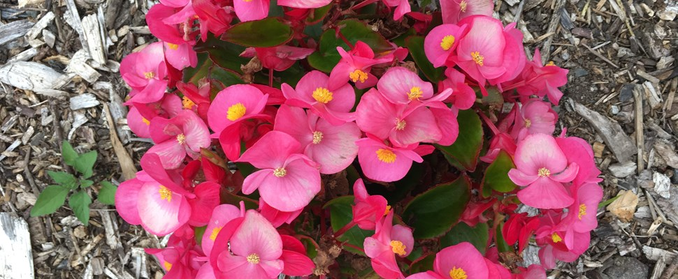 Begonia 'Sprint Plus Rose'