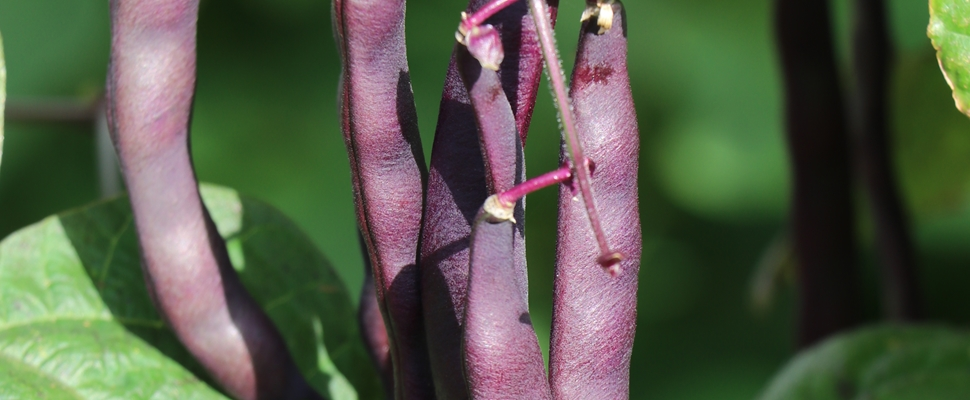 Bean 'Climbing Purple'