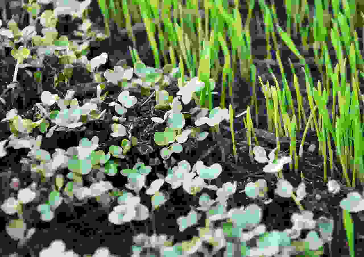 Grow Your Own Space Microgreens (23 Jan) image