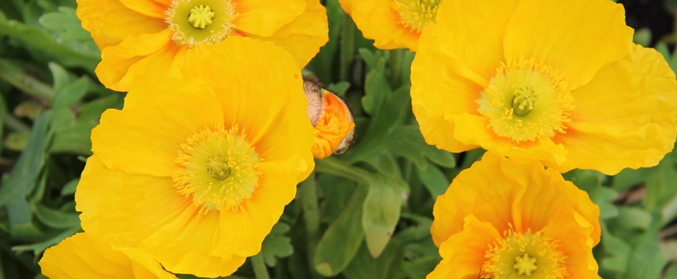 Yellow Iceland poppy flowers (Papaver nudicaule)