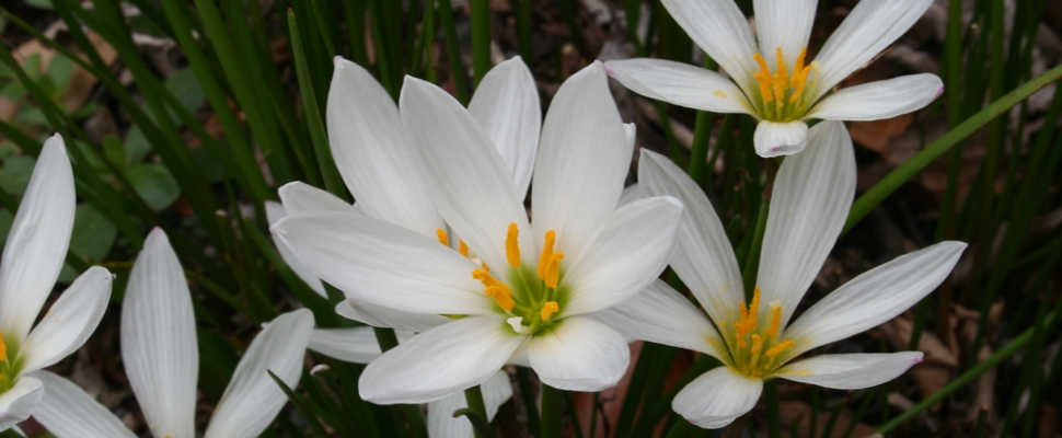 White flowers of Zephyranthes candida bulbs