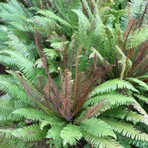 Blechnum discolor fern fronds showing red and green colours