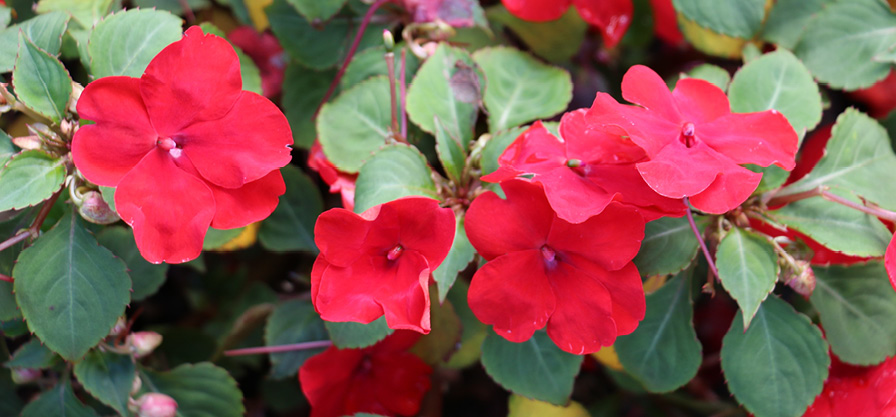 Impatiens Accent Red.jpg
