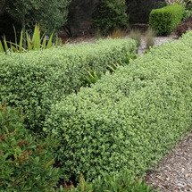 Trimmed square hedge of Pittosporum 'Wrinkle Blue'