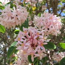 Pink flowers of the Pompom tree (Dais cotinifolia)