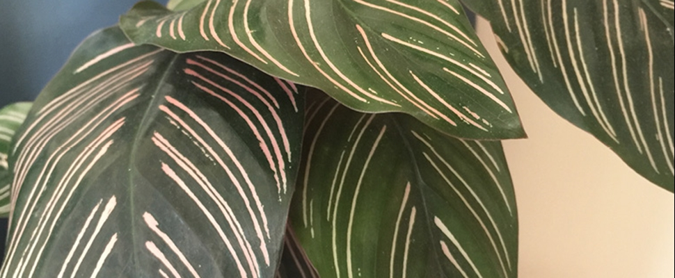 Pink and green stripes on Pinstripe plant leaves (species name Calathea ornata) in indoor pot
