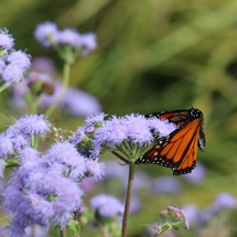 Monarch butterfly on flowering plant