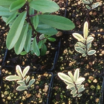 Cuttings of hebe plants