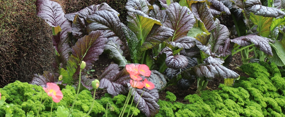 Giant red mustard and parsley companion planting