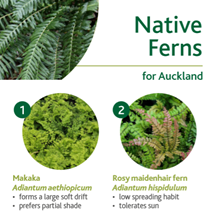 Native ferns image