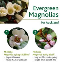 Evergreen magnolias image
