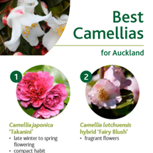 Camellias image