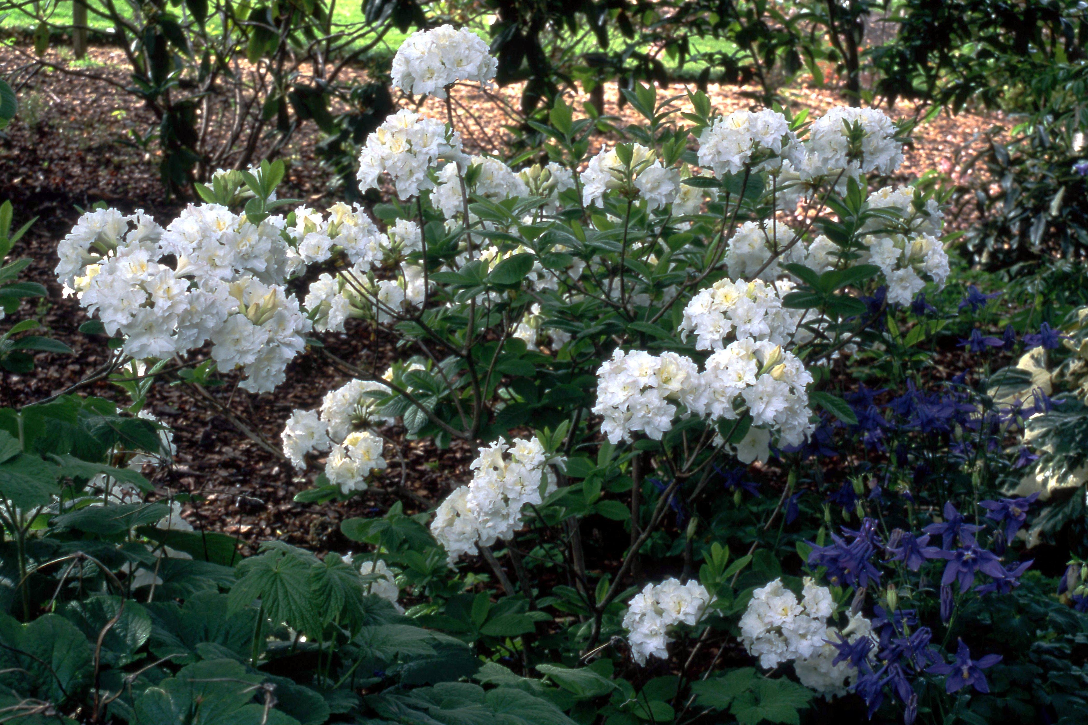 Rhododendron Pavlova