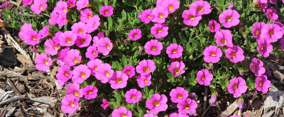 Calibrachoa 'Kabloom Pink'