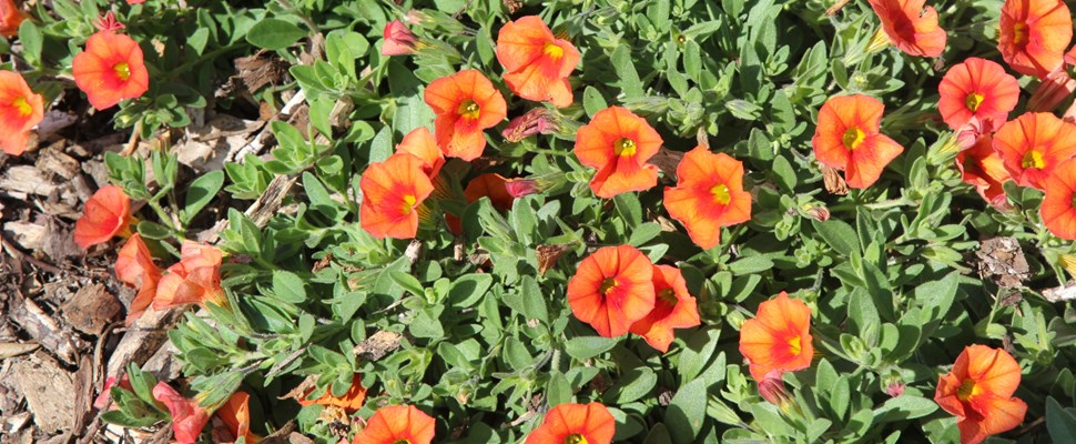 Calibrachoa 'Kabloom Orange'