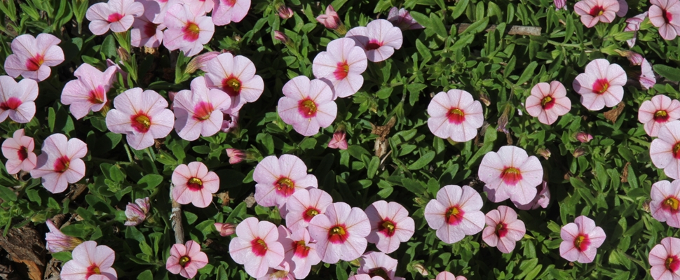 Calibrachoa 'Kabloom Light Pink Blast'