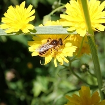 Native bees image