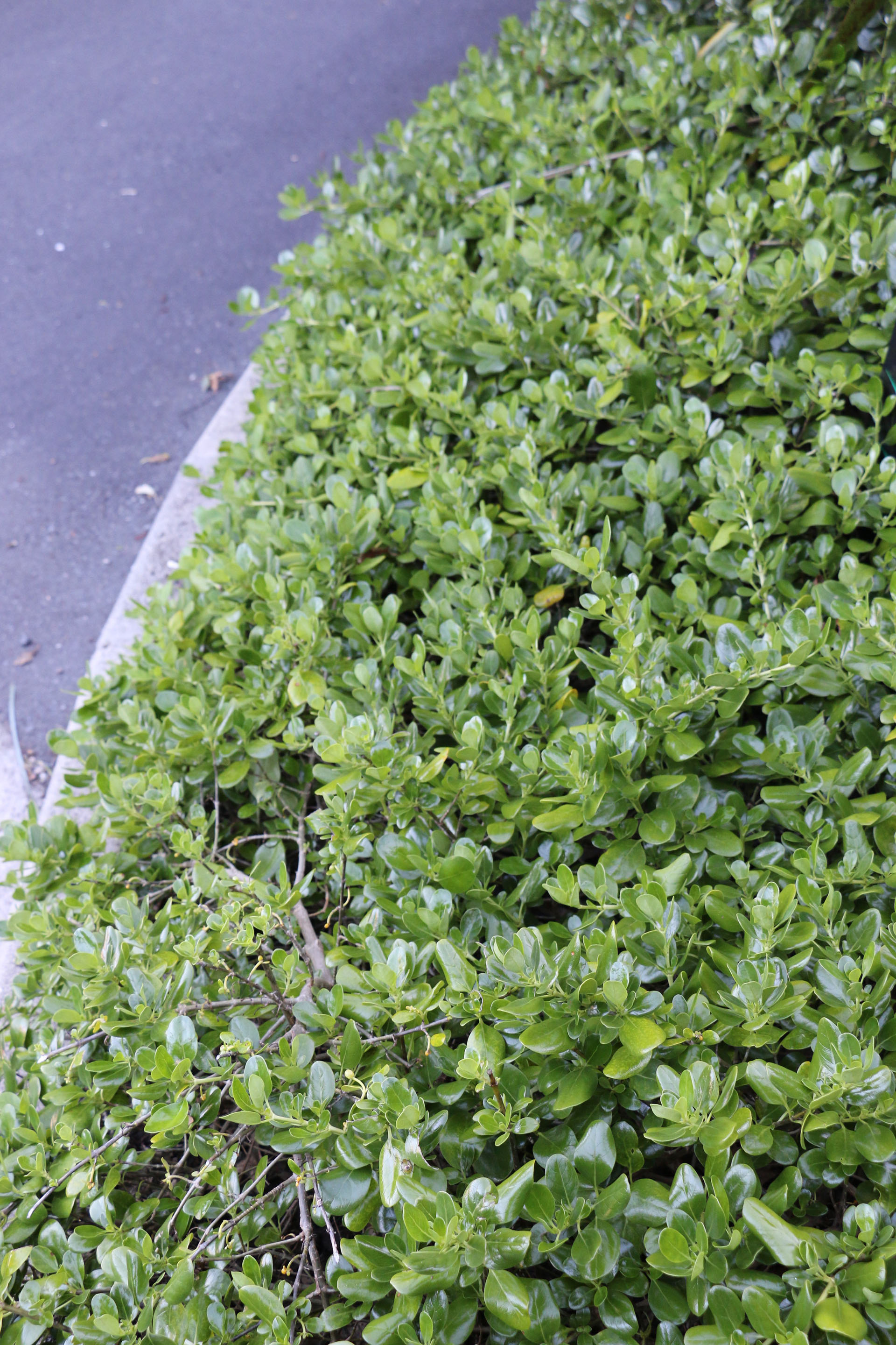 Coprosma Repens 'Poor Knights