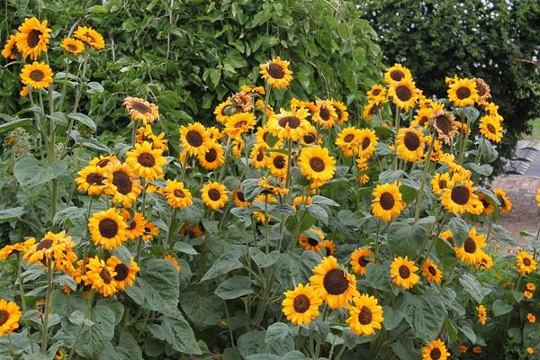 Manfaat Minyak Biji Bunga Matahari Untuk Kulit Remaja